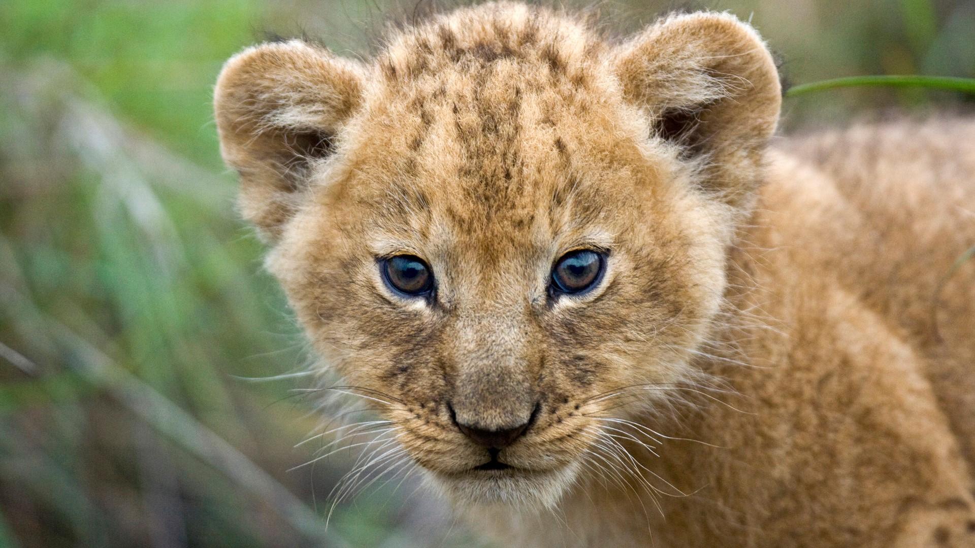 Beautiful Cute Lion Cub Closeup Face HD Wallpapers HD Wallpapers 1920x1080