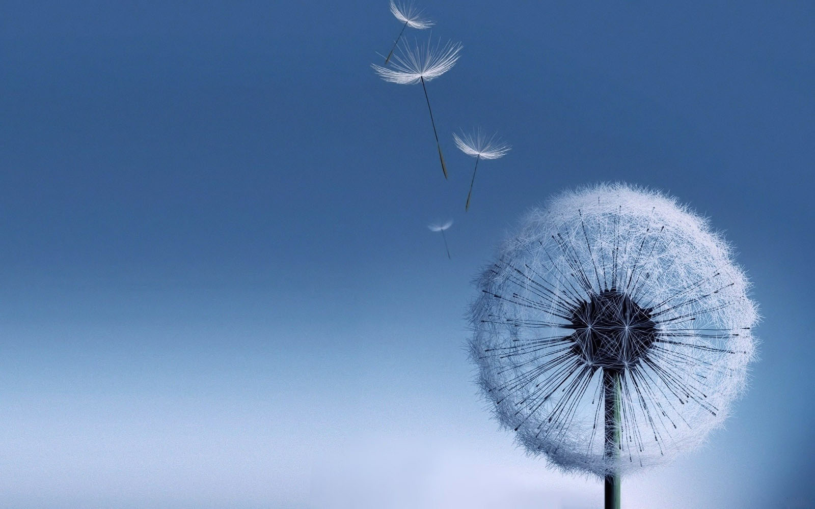 Galaxy s3 Dandelion Wallpaper Desktop Wallpapers 1600x1000