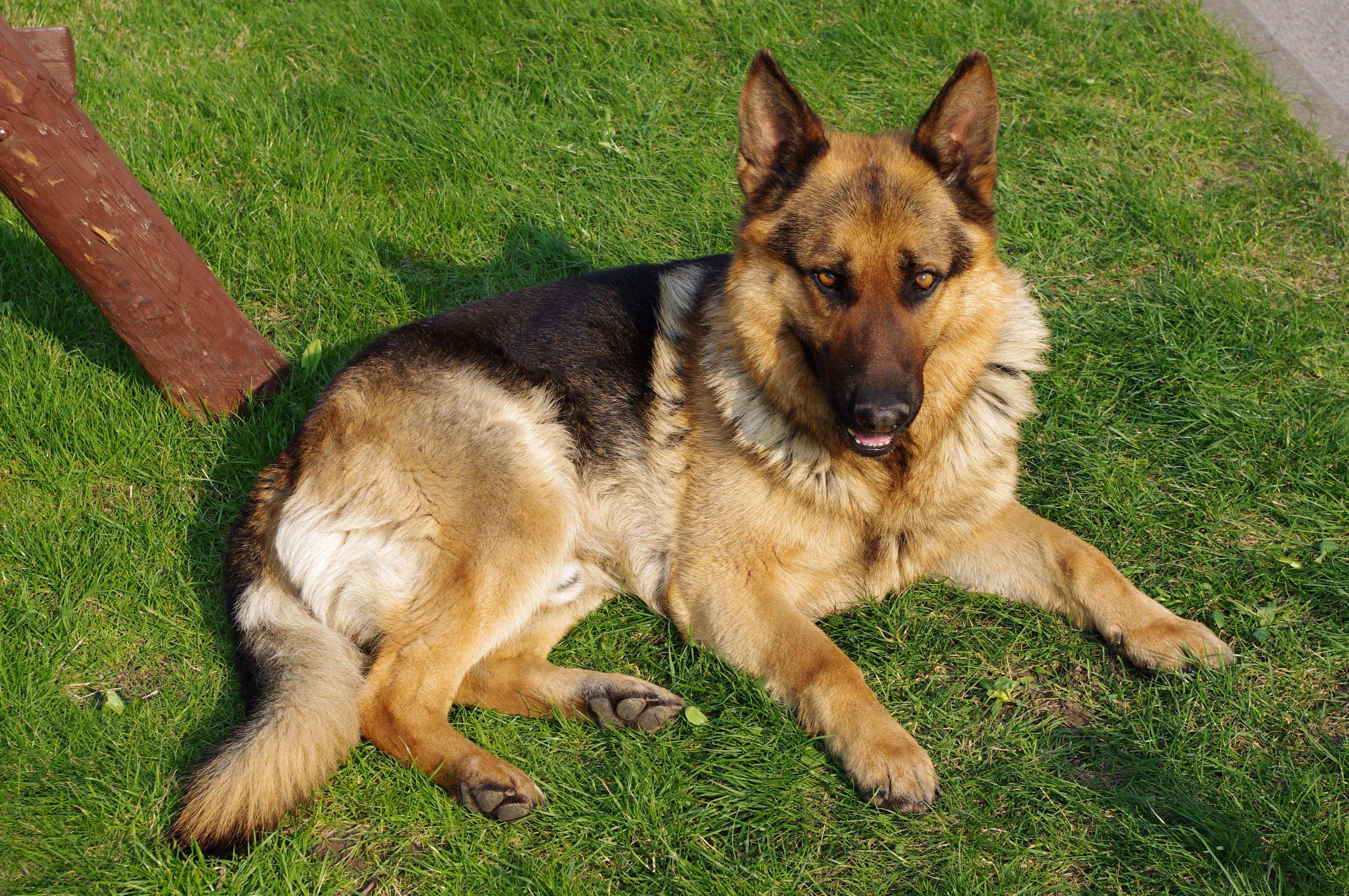 german shepherd dog fan full desktop wallpaper download german 4245x2820