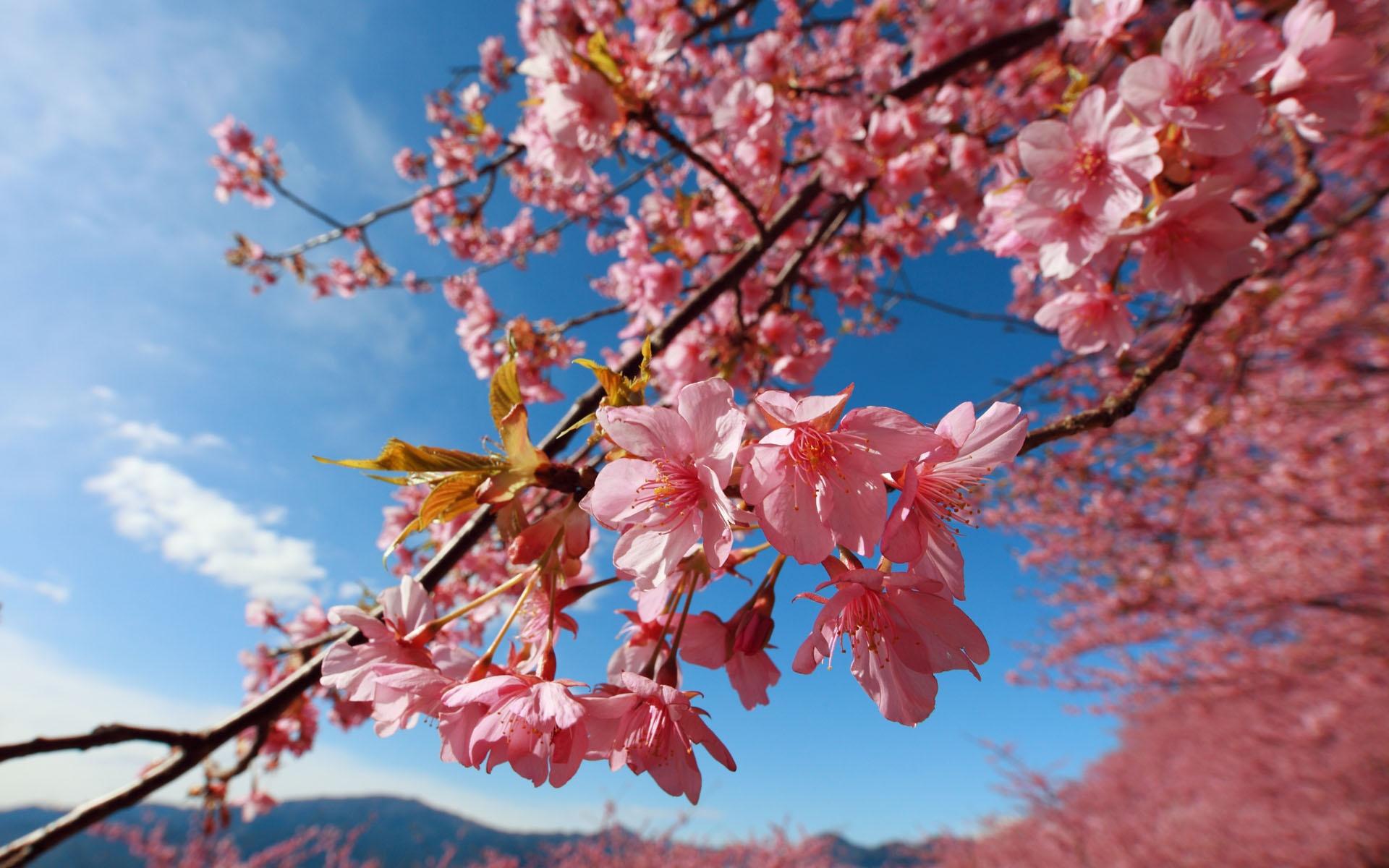 Cherry blossoms 1920x1200