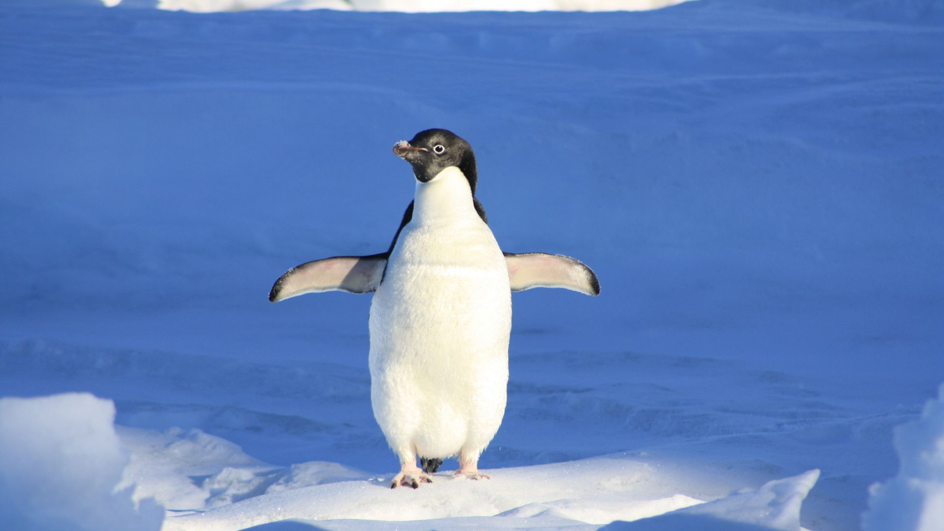 Animal Penguin Winter HD Wallpaper   Wallpaper Stream 1920x1080