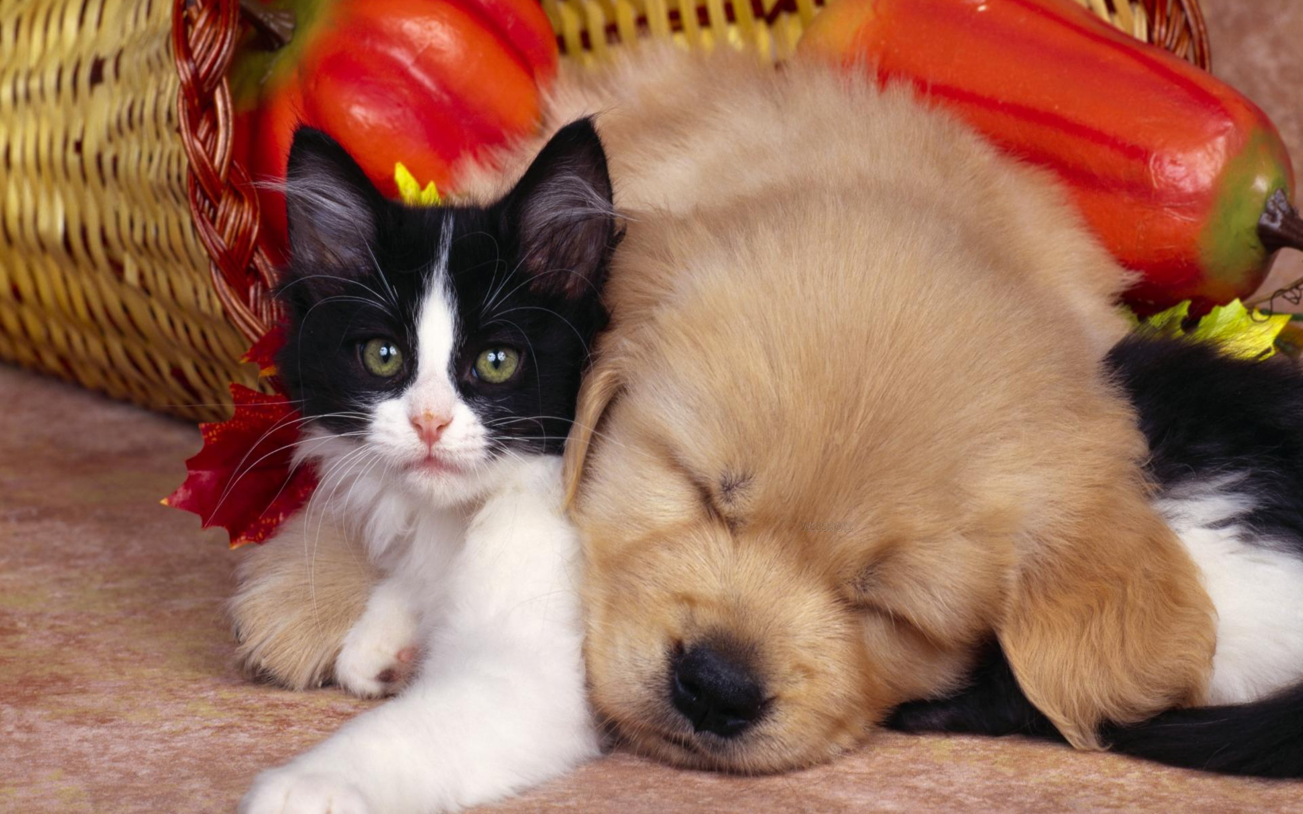 Cute Animals Desktop Wallpapers for HD Widescreen and Mobile 2560x1600