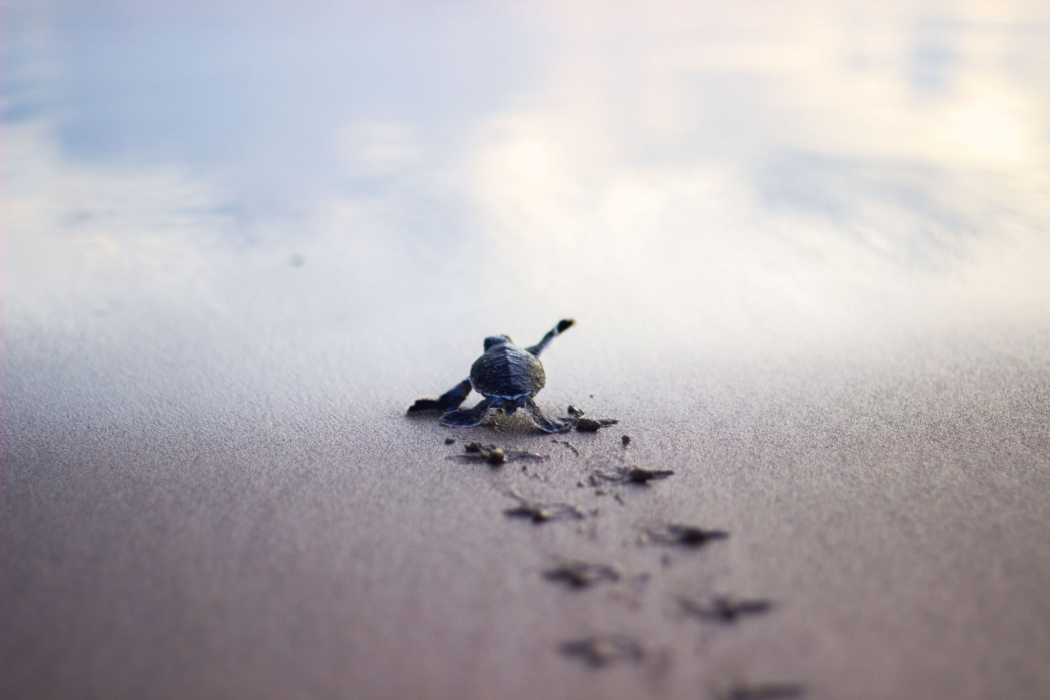 Baby turtle running to the safety of the sea shore pics 2048x1365