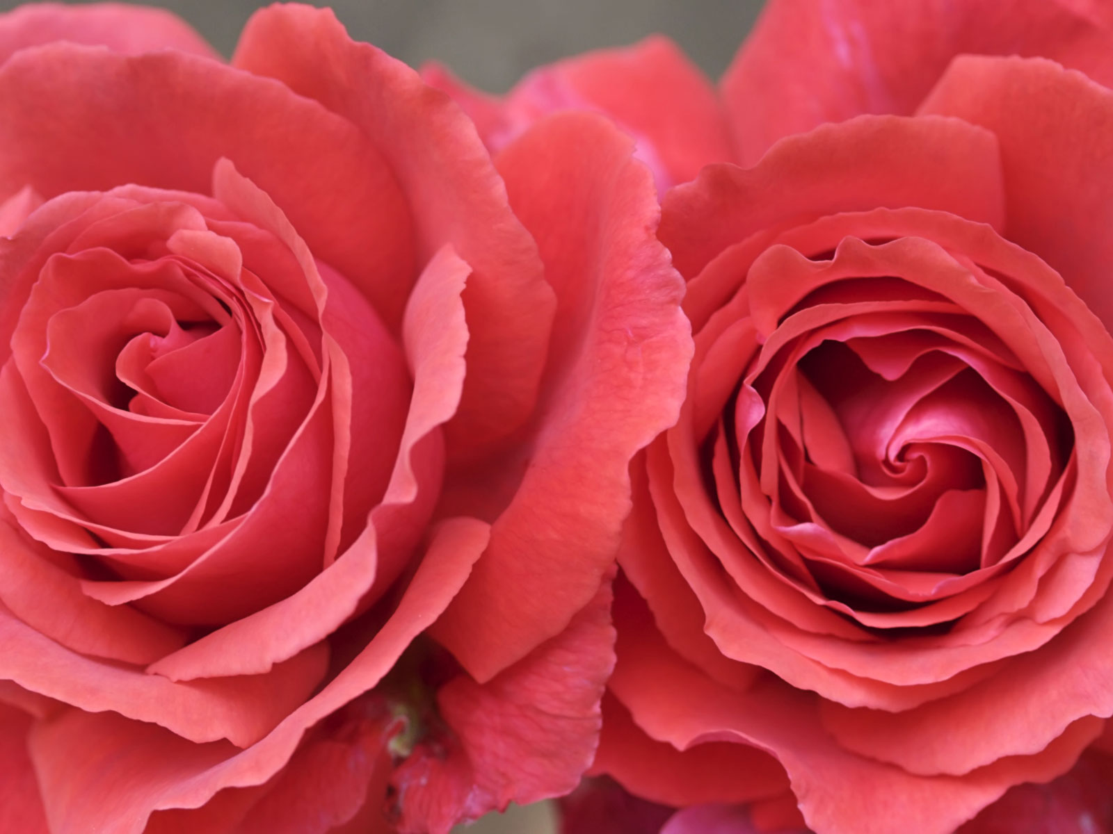 Wallpapers Pink Roses 1600x1200