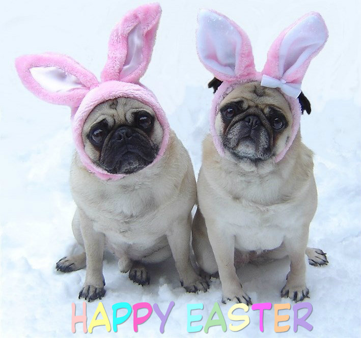 Cute Pug Easter Bunnies   Puppies Photo 33876604 709x664