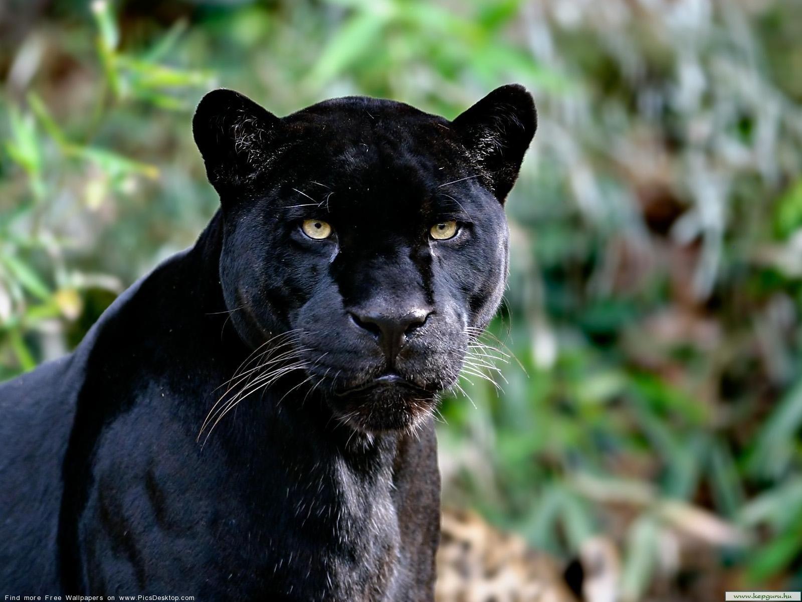 Black panther   Wild Animals   Desktop Wallpaper picture 46 1600x1200