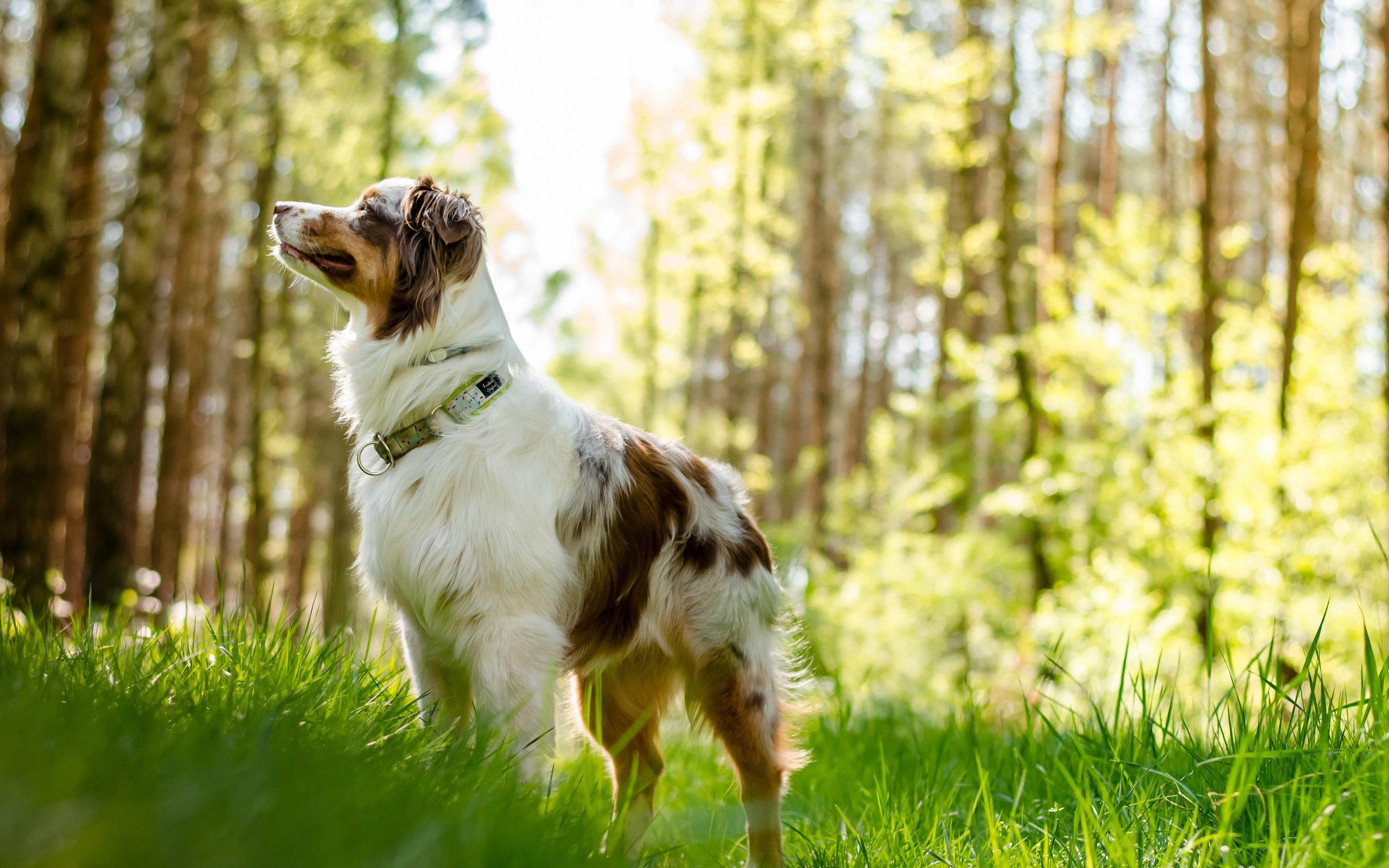Australian Shepherd Dog HD Wallpapers Desktop Backgrounds 2560x1600