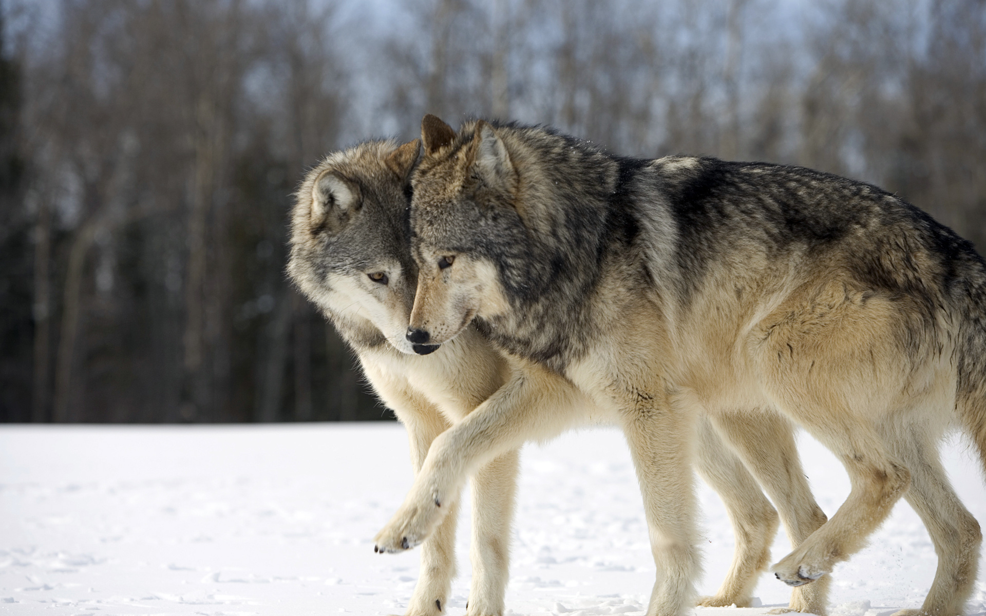 Wallpaper two wolves game funny nyashno wallpapers animals 1920x1200