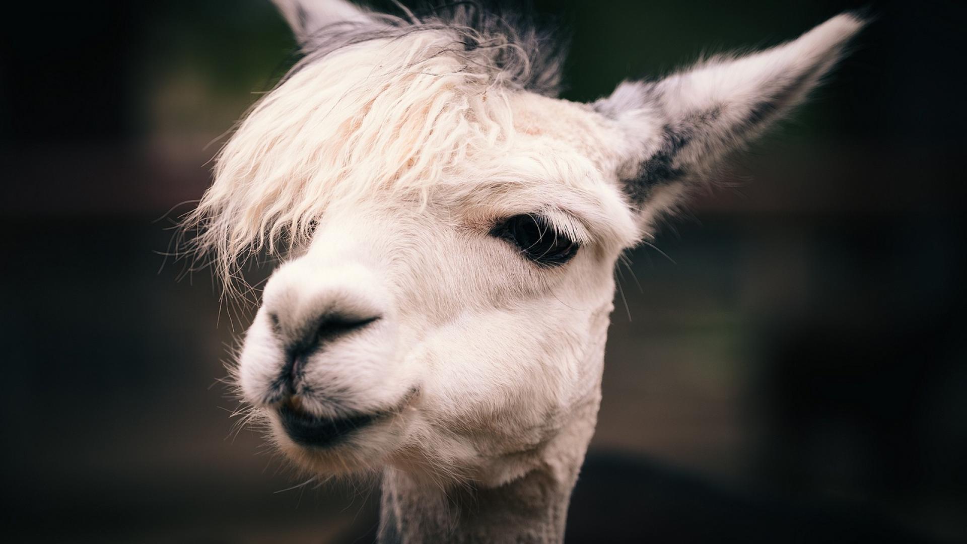 Animals llama wallpaper 79175 1920x1080