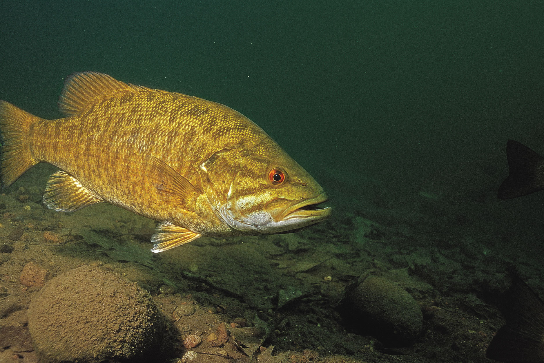 Smallmouth Bass Wallpaper 1876x1253