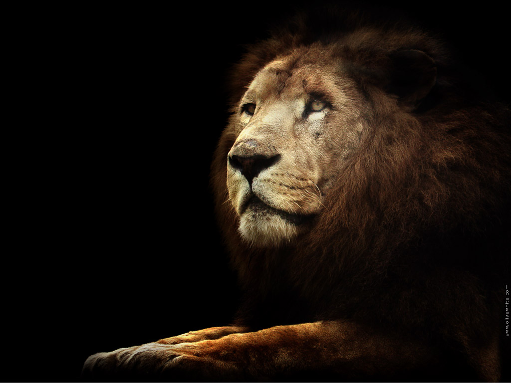 [44+] Black Lion HD Wallpaper on WallpaperSafari