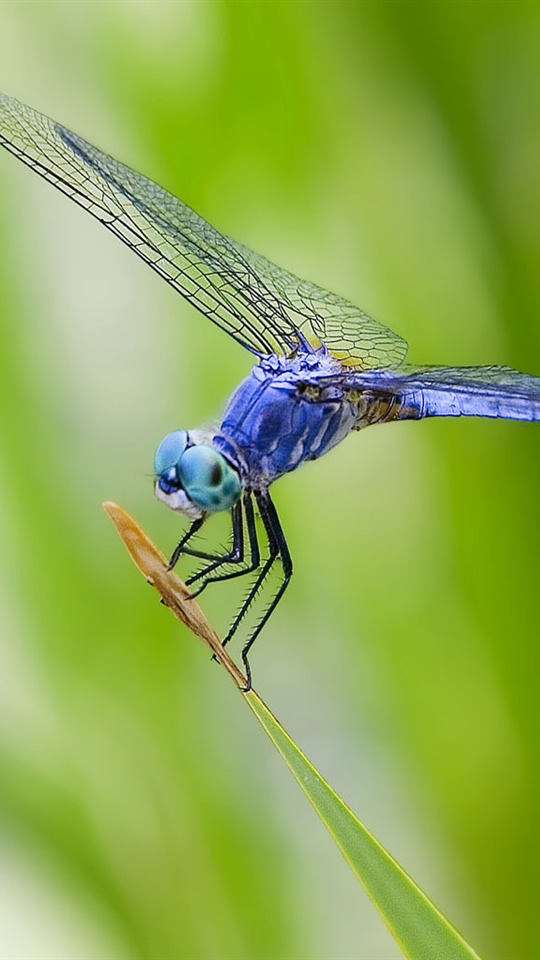 free 540X960 Dragonfly 540x960 wallpaper screensaver preview id 109304 540x960