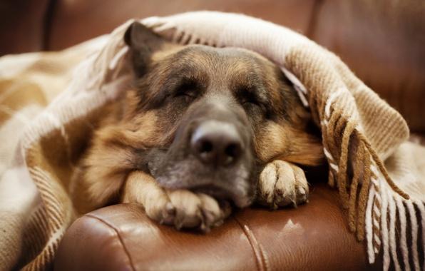 Wallpaper german shepherd dog dog friend wallpapers dog   download 596x380