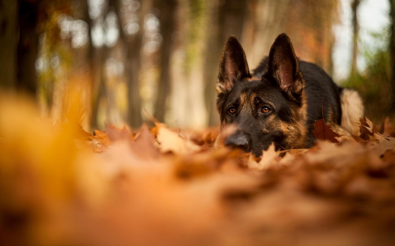 Dogs Autumn Wallpaper   Wallpaper High Definition High Quality 1680x1050