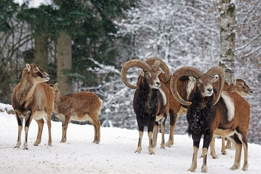 HD wallpaper pack of brown animals on snow field mouflon horned 910x607