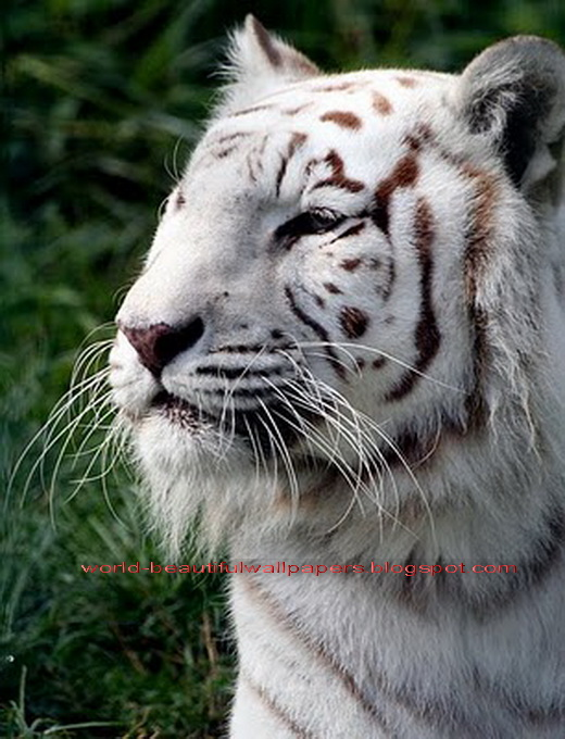 Beautiful Wallpapers white bengal tiger pictures 520x680