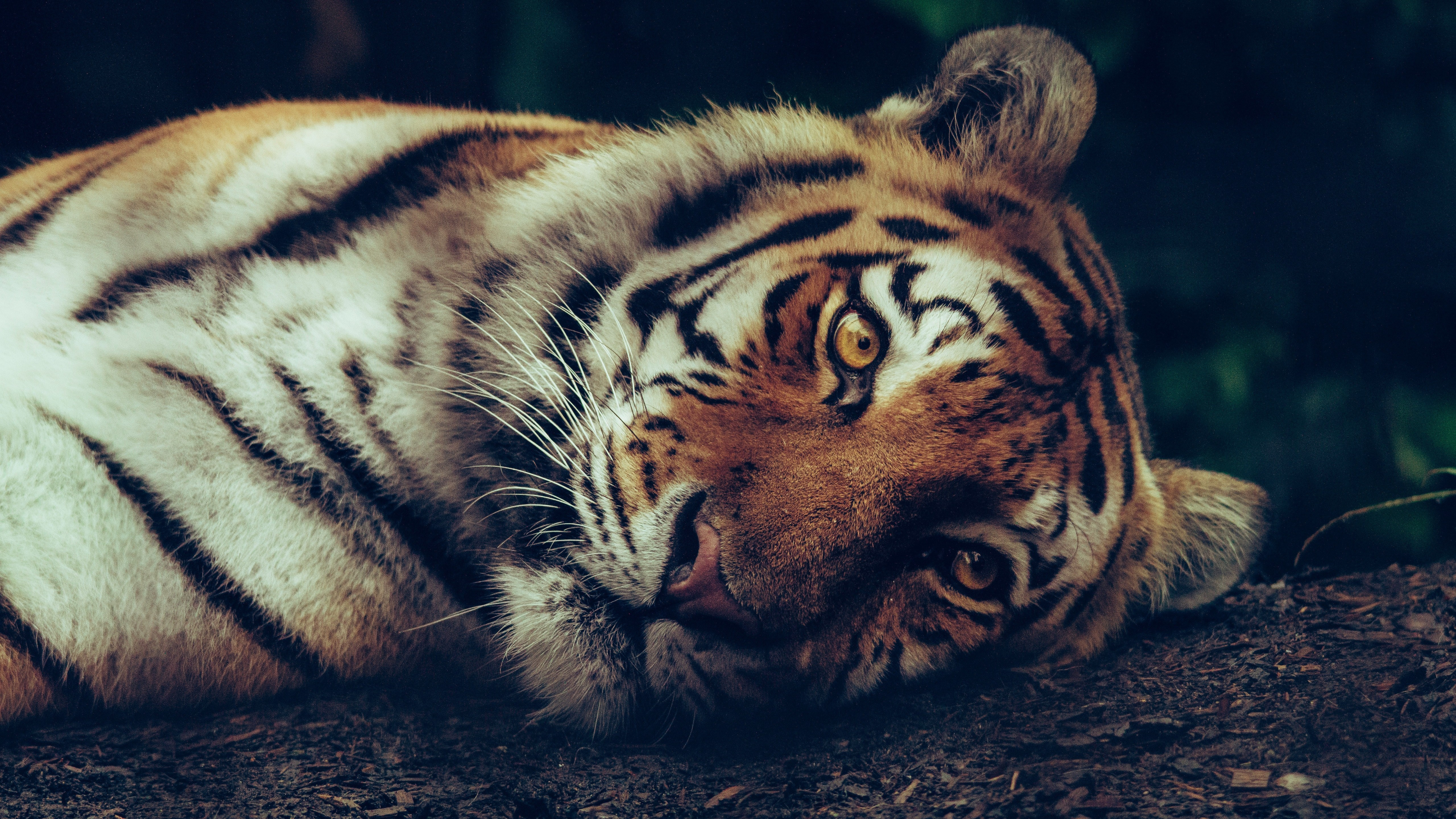 Tiger Sleeping 5K Wallpaper HD Wallpapers 5120x2880