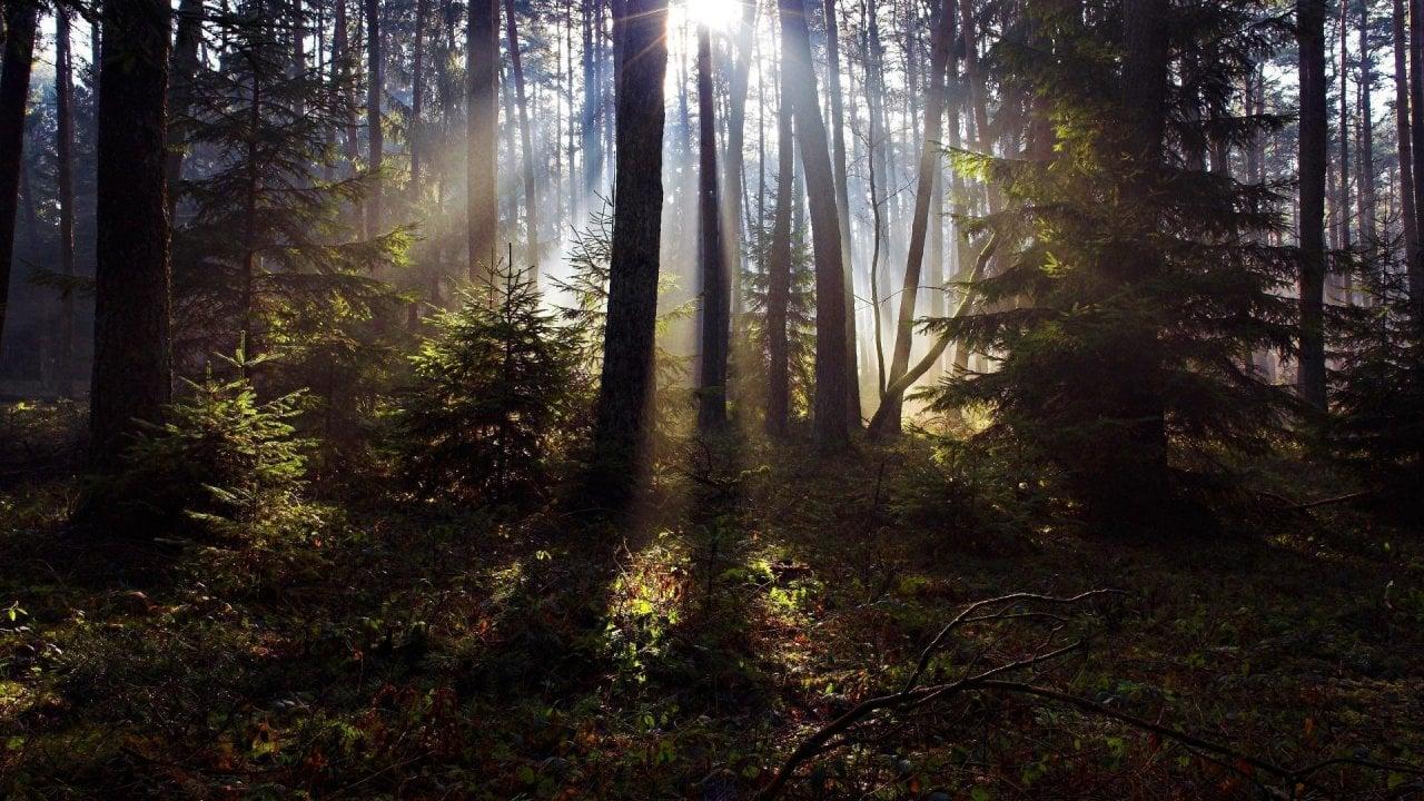 Sunlight in the Woods Wallpaper 1280x720