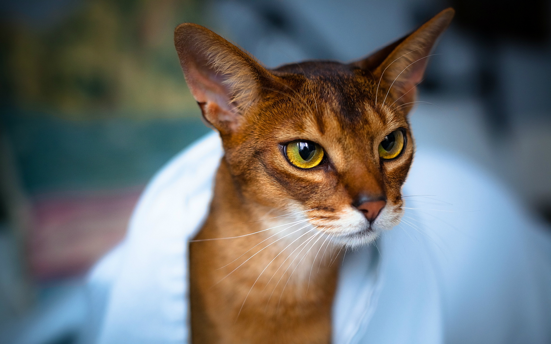 3D Abyssinian Cat Wallpapers For PC Cat Abyssinian 3d Cat 1920x1200