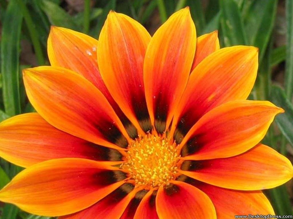 Orange Flower Wallpaper Background Desktop - WallpaperSafari