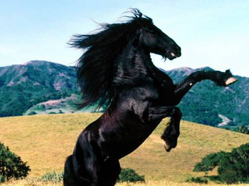 Black horse leap hills desktop wallpapers 1600x1200 HQ photo 501x376