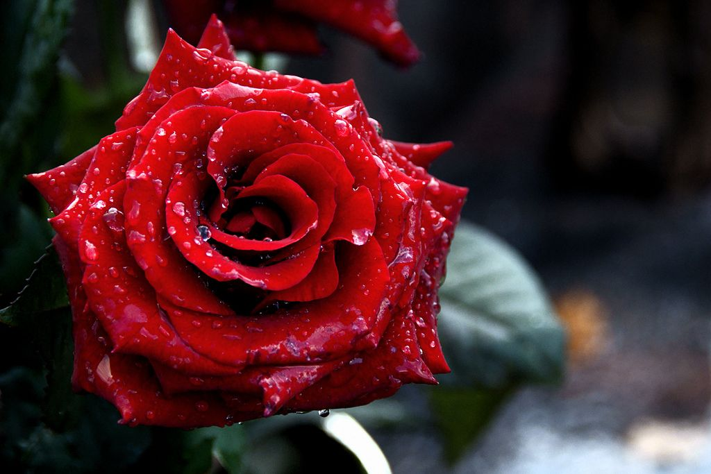 Rose Grave monument St Barbara Utrecht Dew Drops Red 1024x683