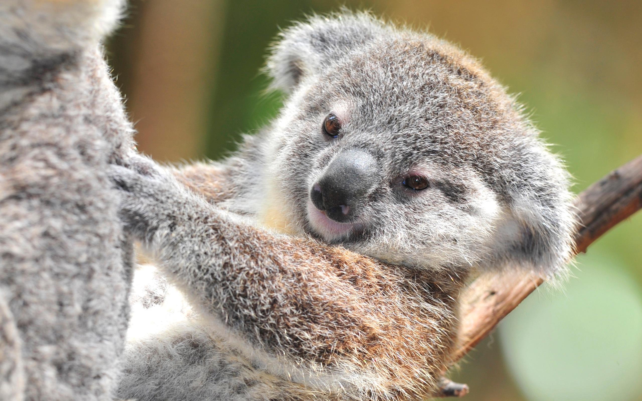 Koala HD Wallpapers