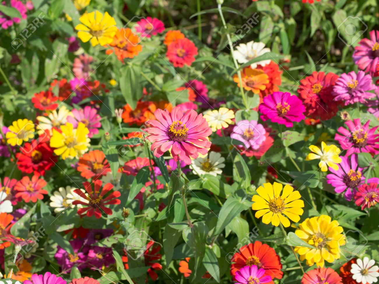 Colorful Zinnia Flower Field Background Stock Photo Picture And 1300x975