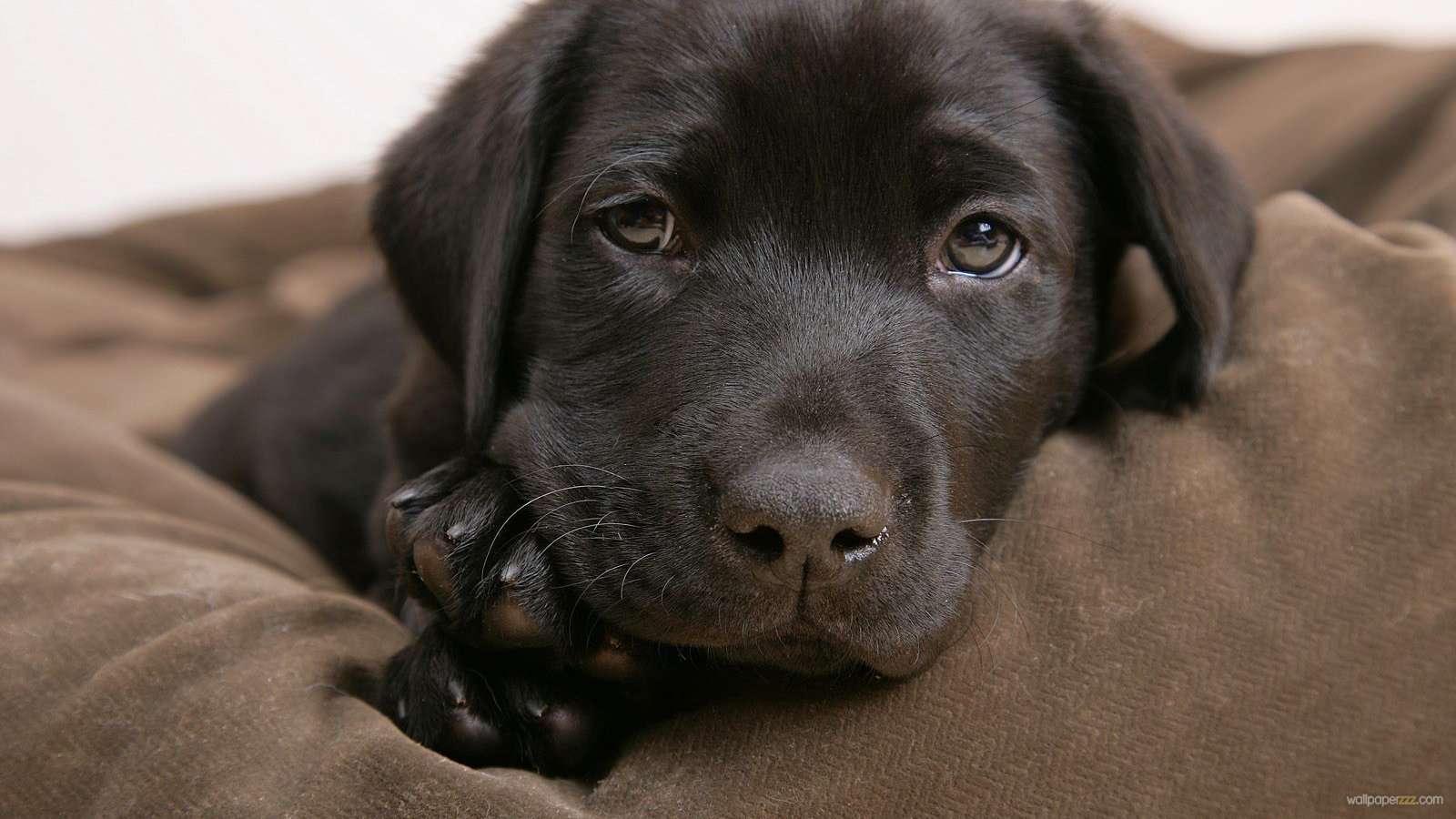 Chocolate Labrador Puppy Widescreen Wallpaper Wallpaper 1600x900
