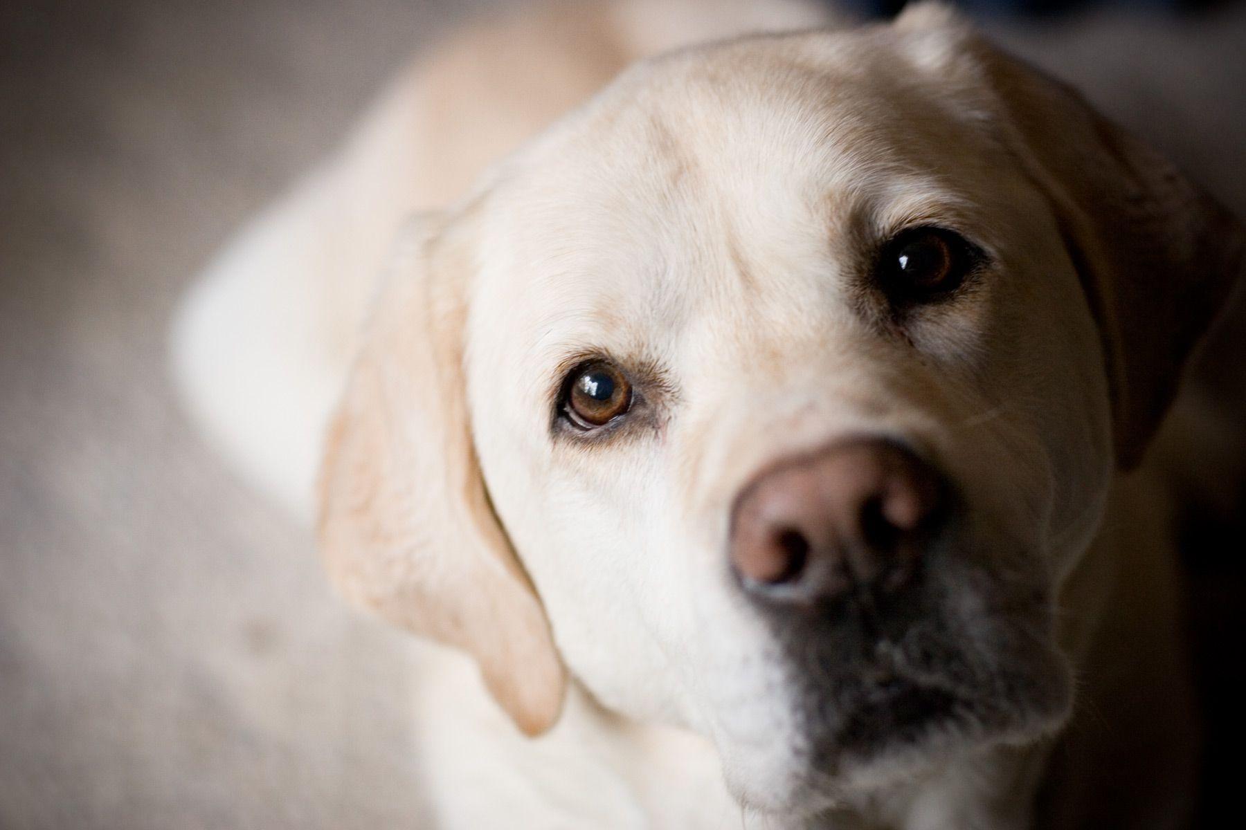 96] Labrador Dog Wallpapers on WallpaperSafari 1800x1200