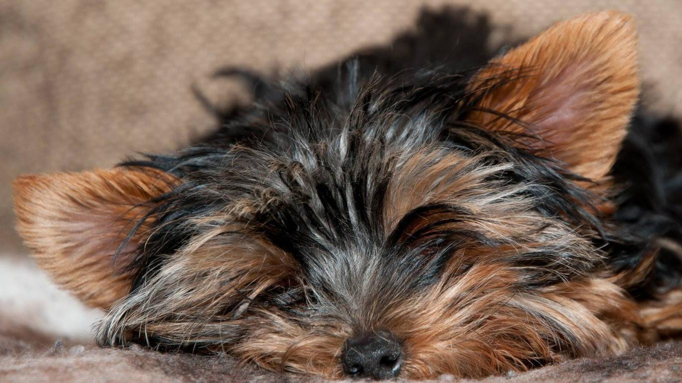 Tagme animals dogs yorkshire terrier wallpaper HQ WALLPAPER   20909 1366x768