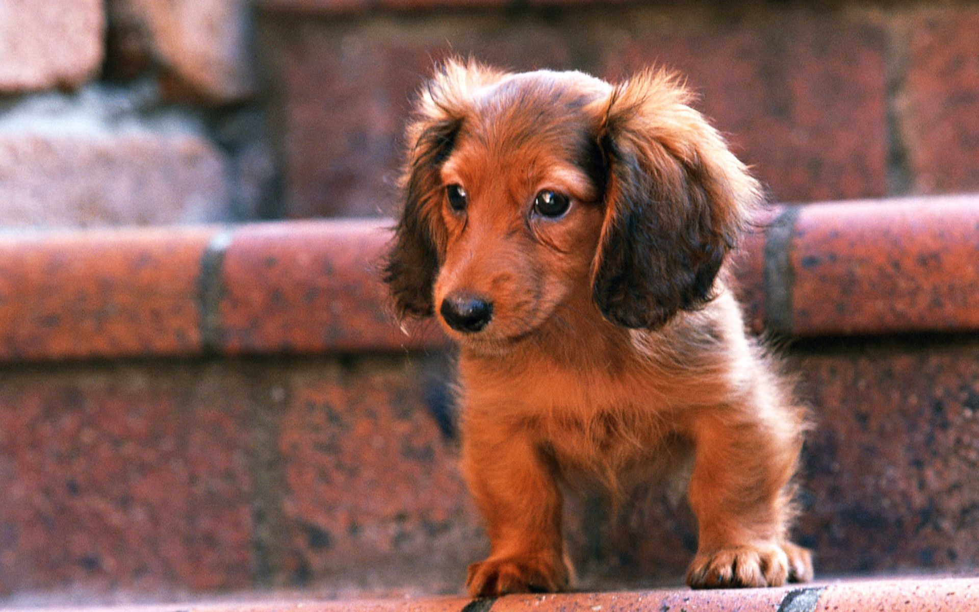 Wallpapers Blog Archive Black Mini Dachshund Puppy Wallpaper 1920x1200