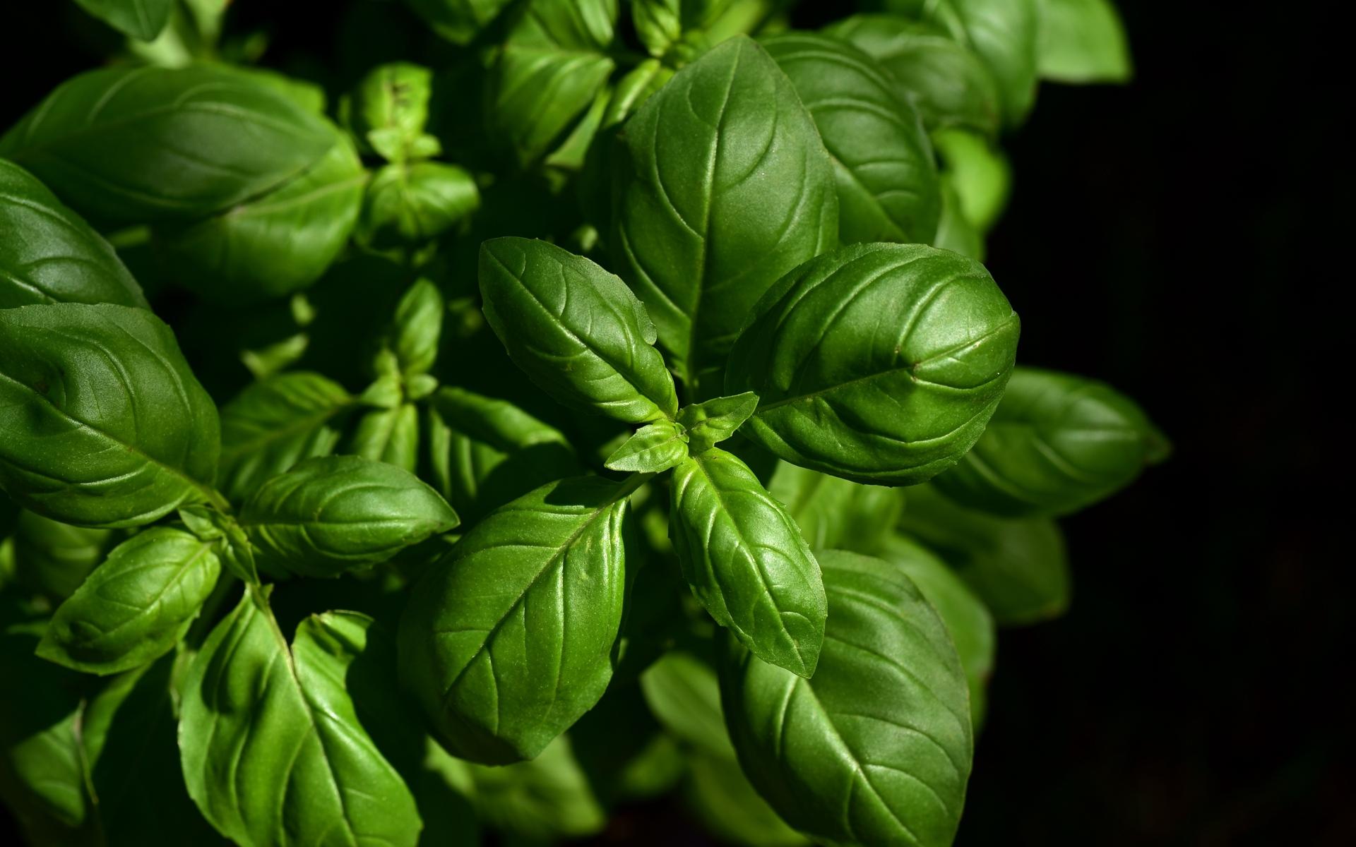 Download wallpaper 1920x1200 basil leaves green plant 1920x1200