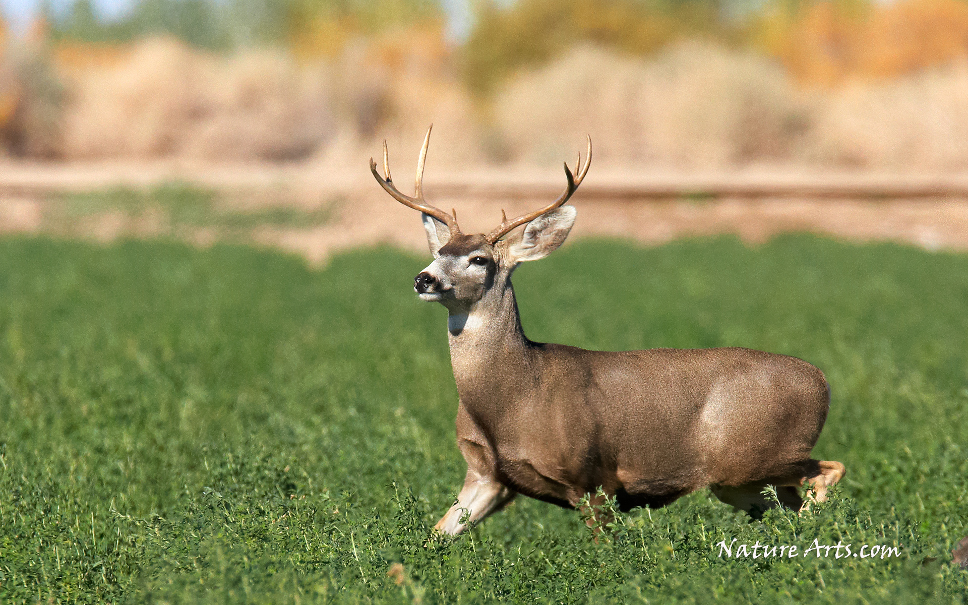 Mule Deer With Resolutions 19201200 Pixel 1920x1200