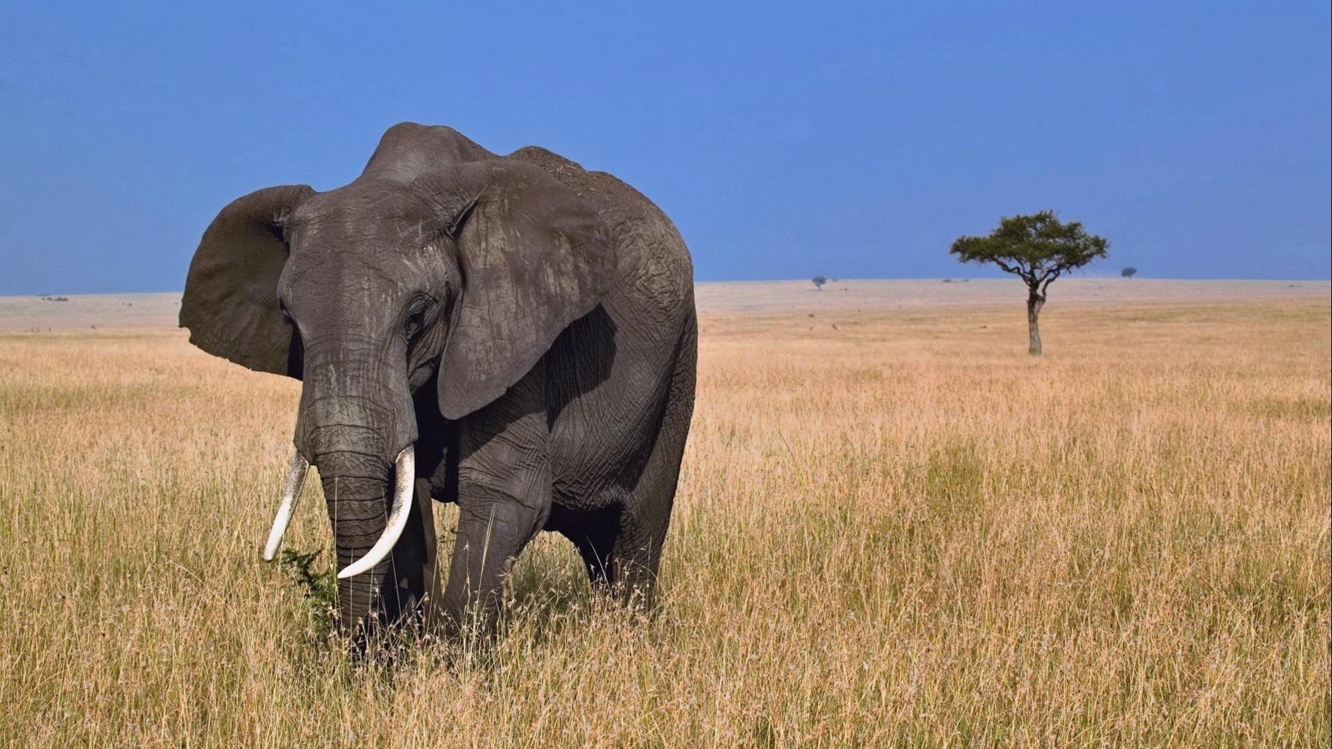 47 Animals Elephant Wallpaper Free Download On Wallpapersafari