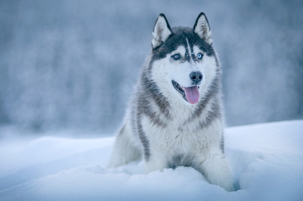 500 Siberian Husky Pictures [HD] Download Images Stock 1000x666