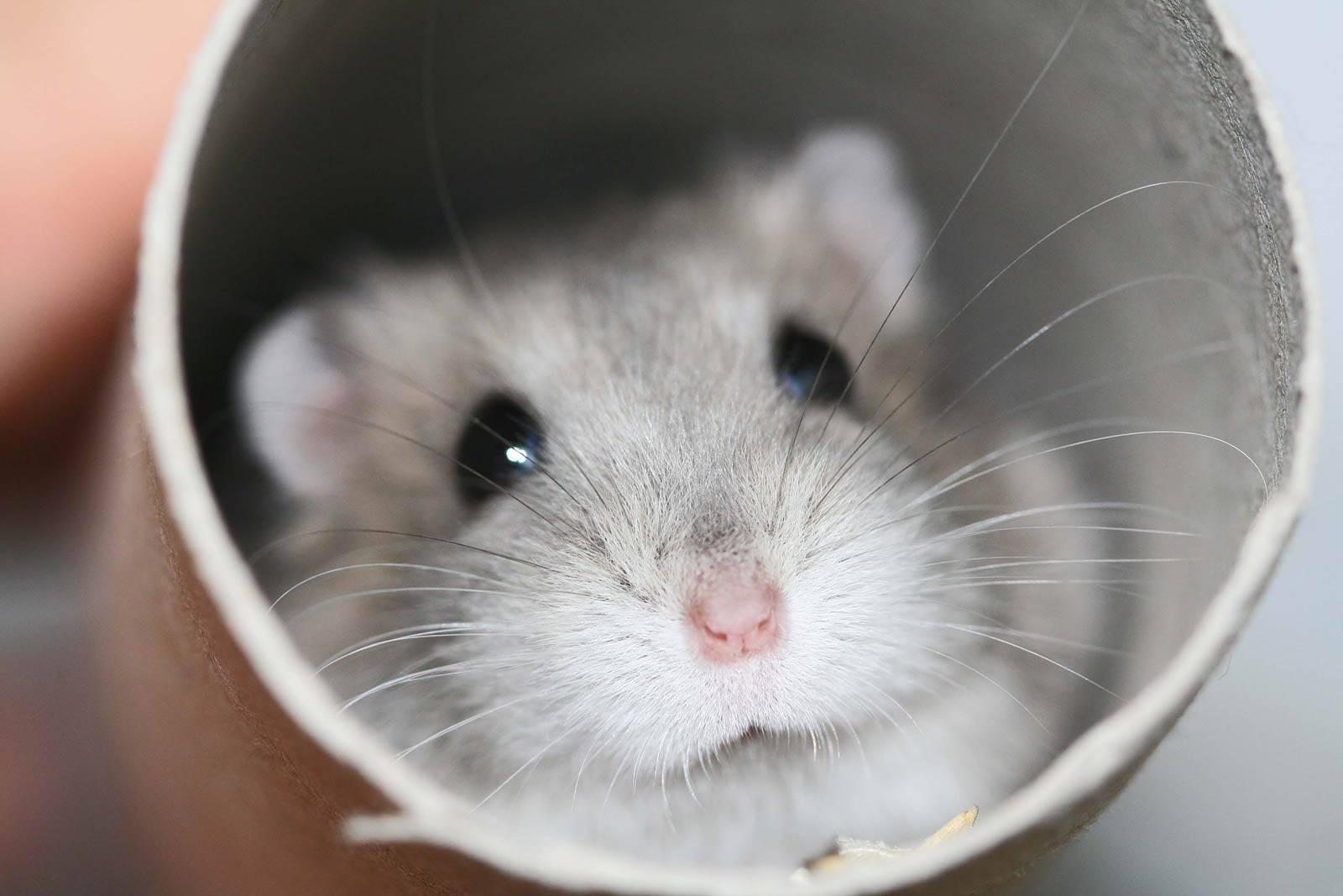 hamster wallpaper   Hamsters Wallpaper 1600x1067