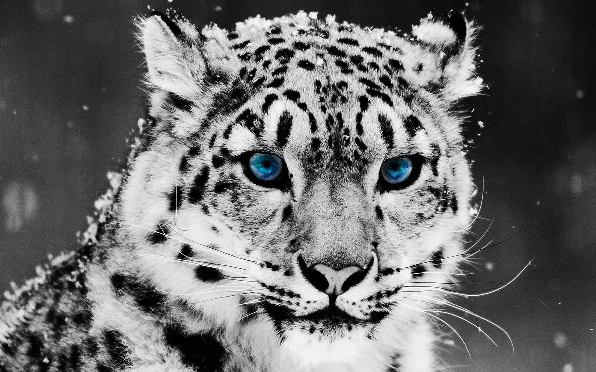 Leopard Wallpaper LOLd Wallpaper   Funny Pictures   Funny Videos 1980x1238