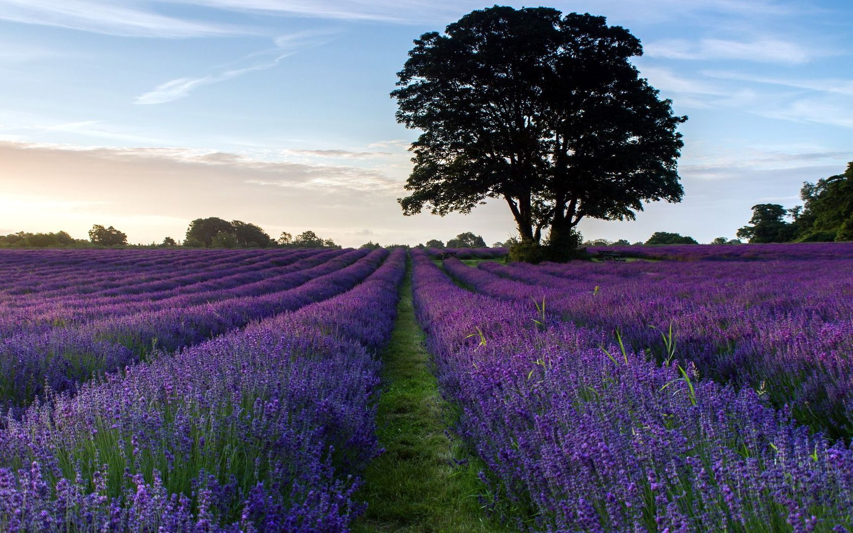 Lavender field wallpaper 20468 1680x1050