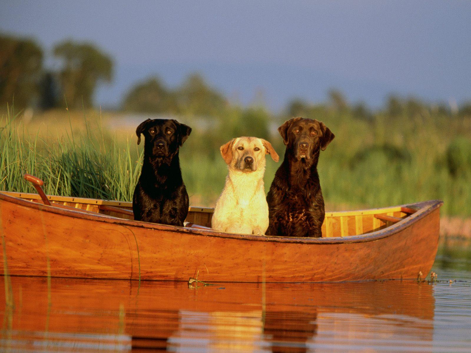 HD Wallpaper met drie honden in een kano of kajak 1600x1200