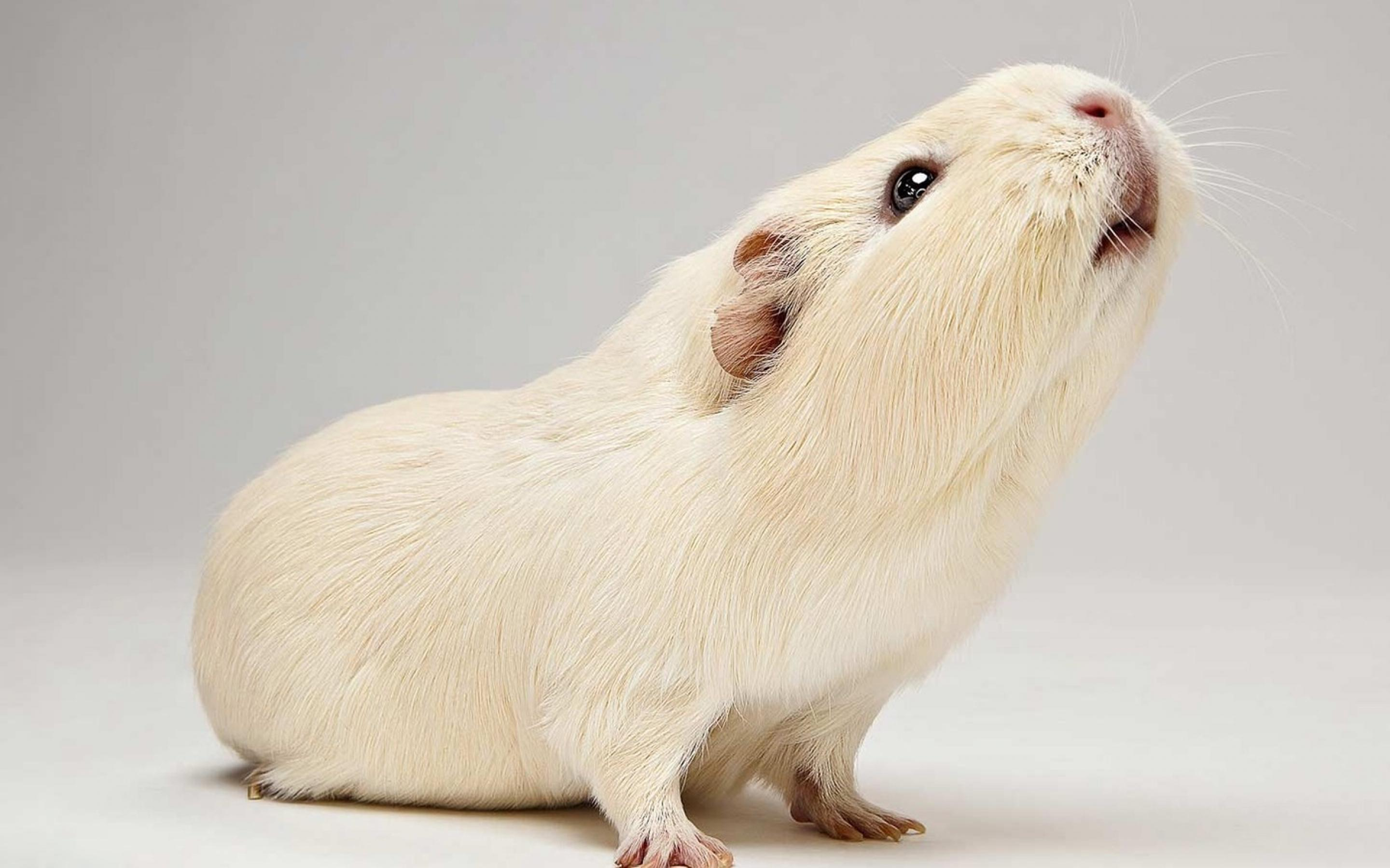 White guinea pig wallpapers and images   wallpapers pictures photos 2880x1800