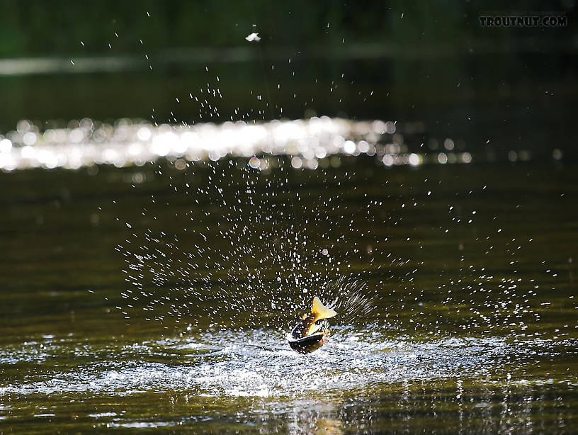 small brown trout jumps at the end of my line Photo by Sandy 816x614