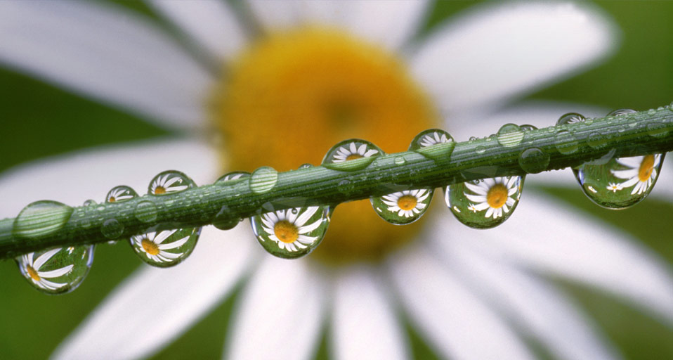 Bing Images   Dew Daisy   Daisies reflected in dewdrops    Craig 958x512