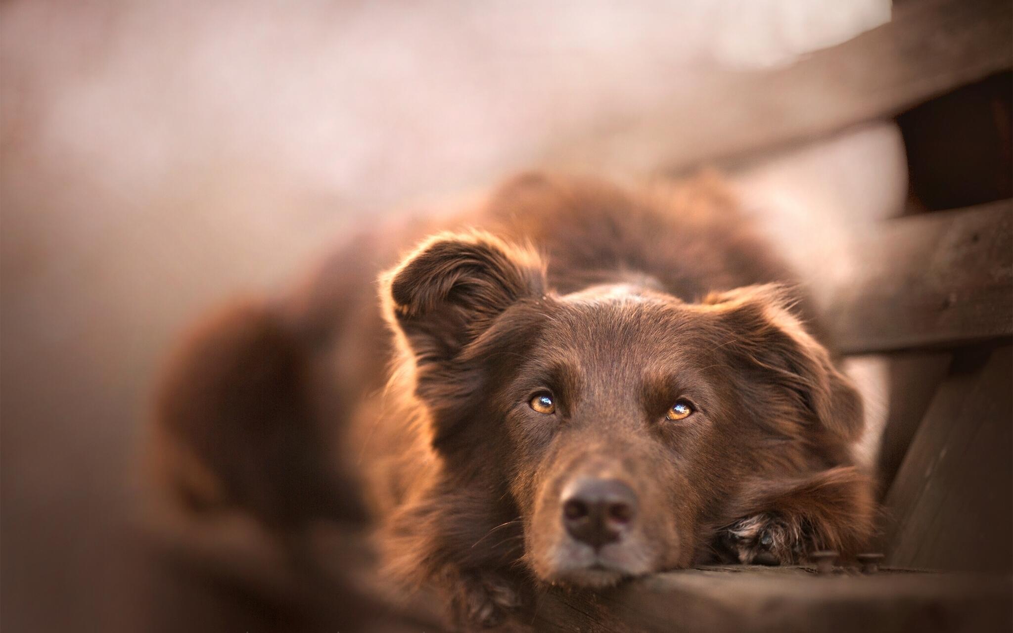 Australian Shepherd Dog HD Wallpapers Desktop Backgrounds 2048x1280