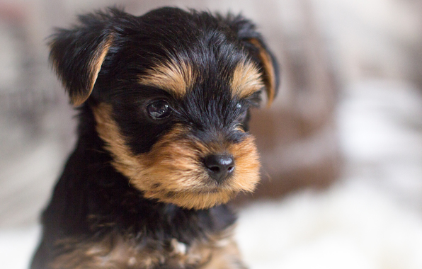 Dog puppy yorkshire terrier portrait dog york wallpapers photos 596x380