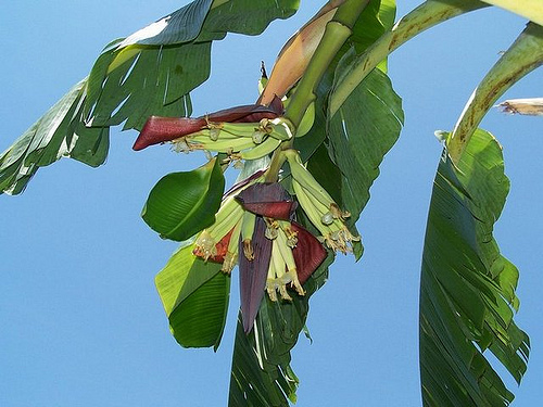 Banana Tree Wallpaper Flickr   Photo Sharing 500x375