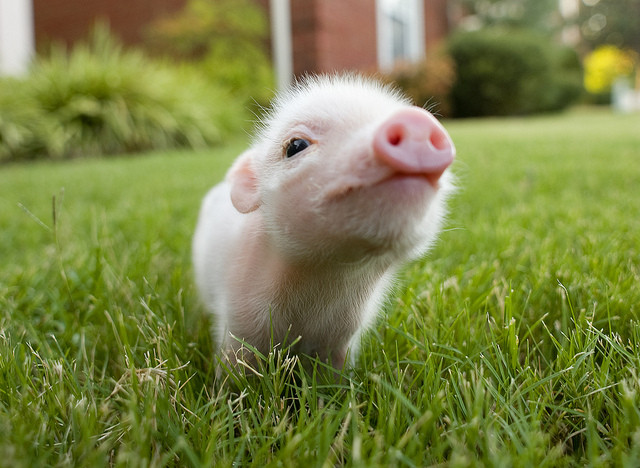 Cute Pink Baby Pig Wallpaper 640 X 468 286589 HD Wallpaper 640x468