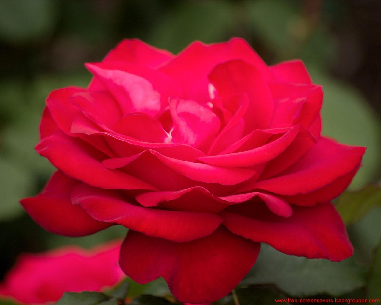 Roses screensaver wallpaper wallpapersafari - Rose screensaver ...