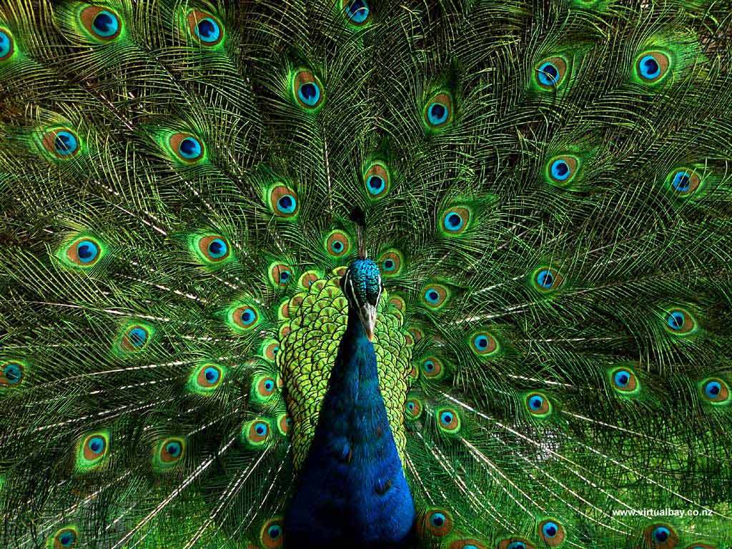 Peacock Art Photography Wallpaper Hq Backgrounds: Wallpaper Peacock