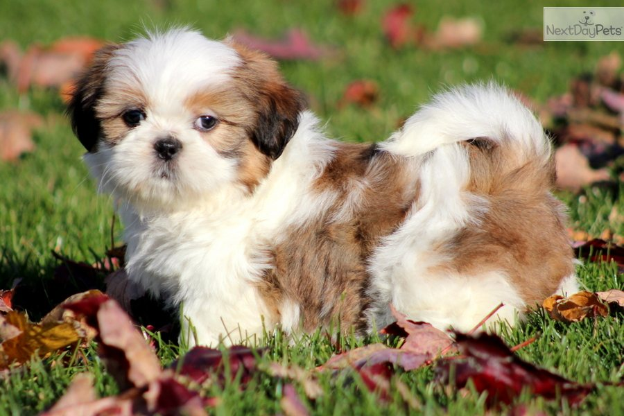 Shih Tzu Puppy Wallpaper | Assistedlivingcares